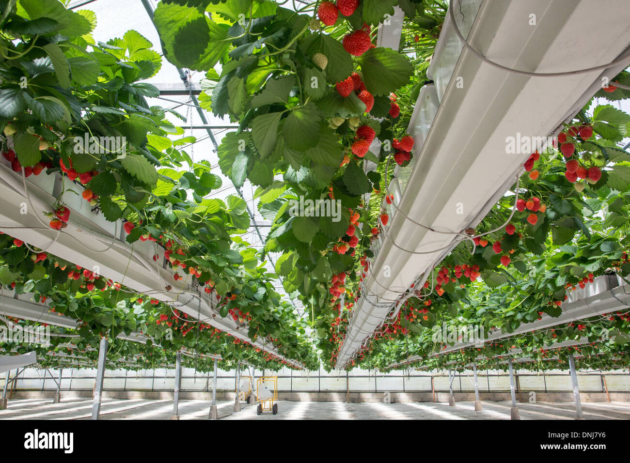 greenhouse growing of strawberries of the mara des bois variety at stock photo royalty free. Black Bedroom Furniture Sets. Home Design Ideas