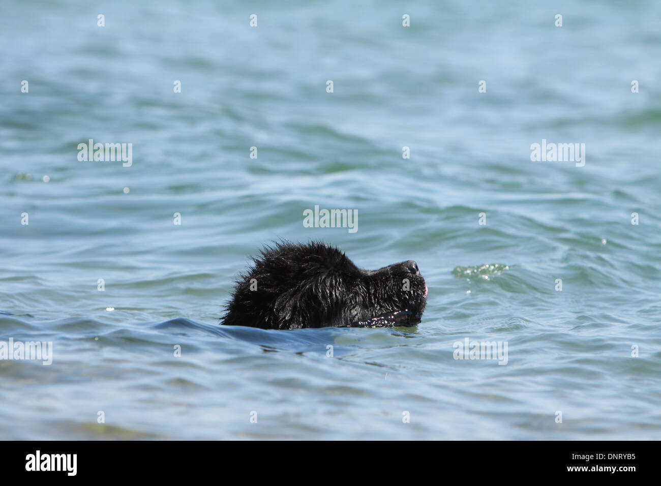 Dog Newfoundland / puppy swimming in the sea Stock Photo ... Newfoundland Swimming
