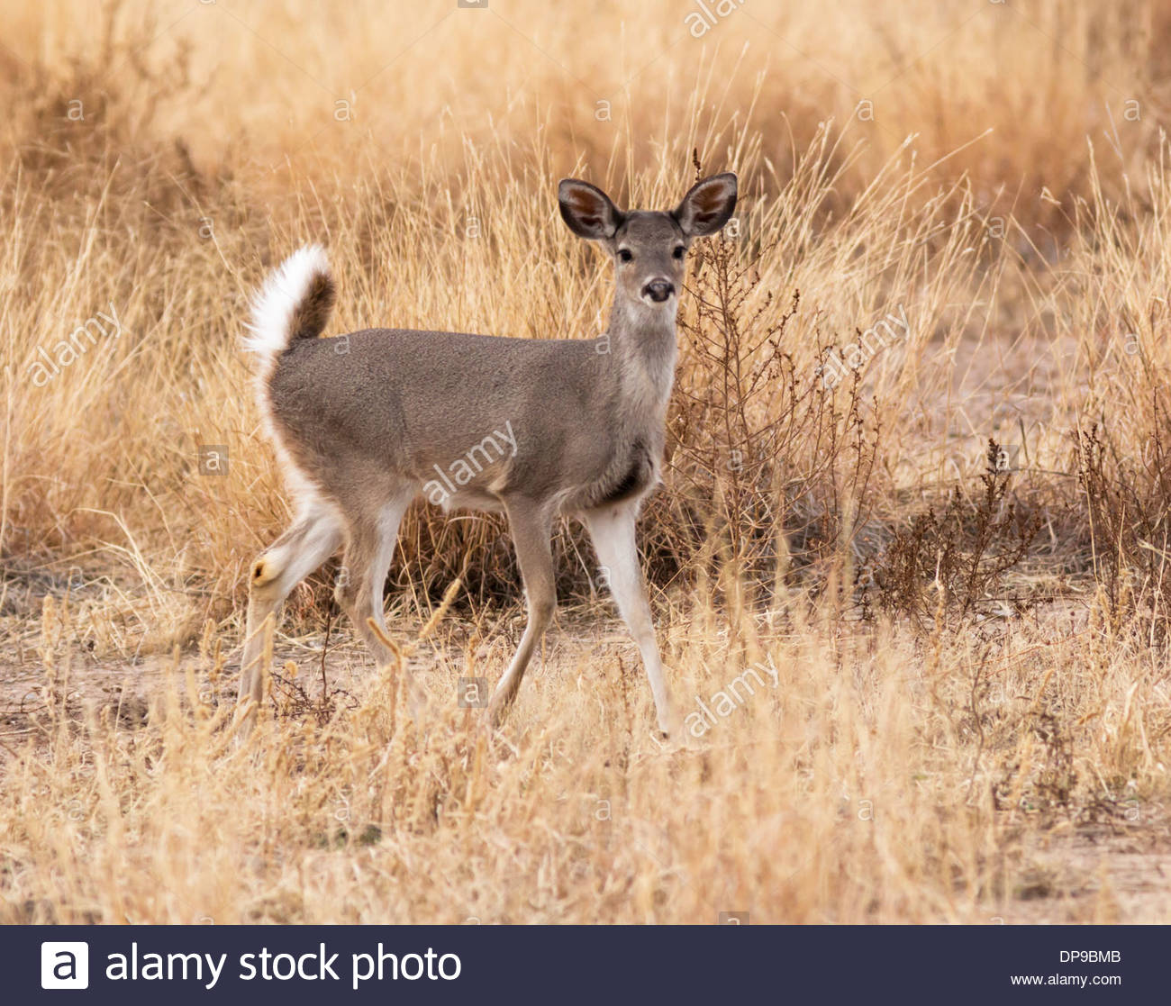 White tailed deer background stock photos
