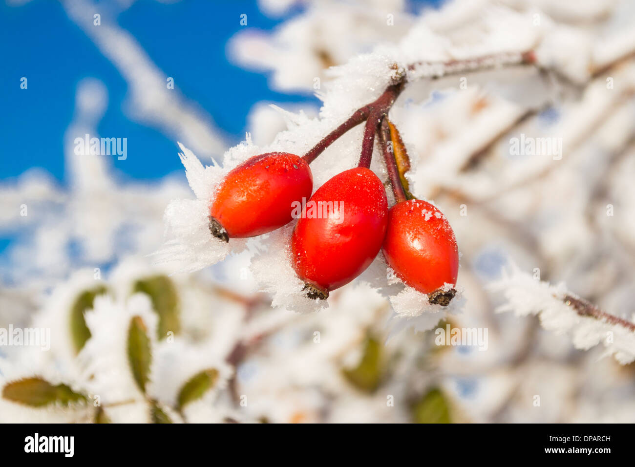 close-up-on-frozen-rose-hips-berries-on-