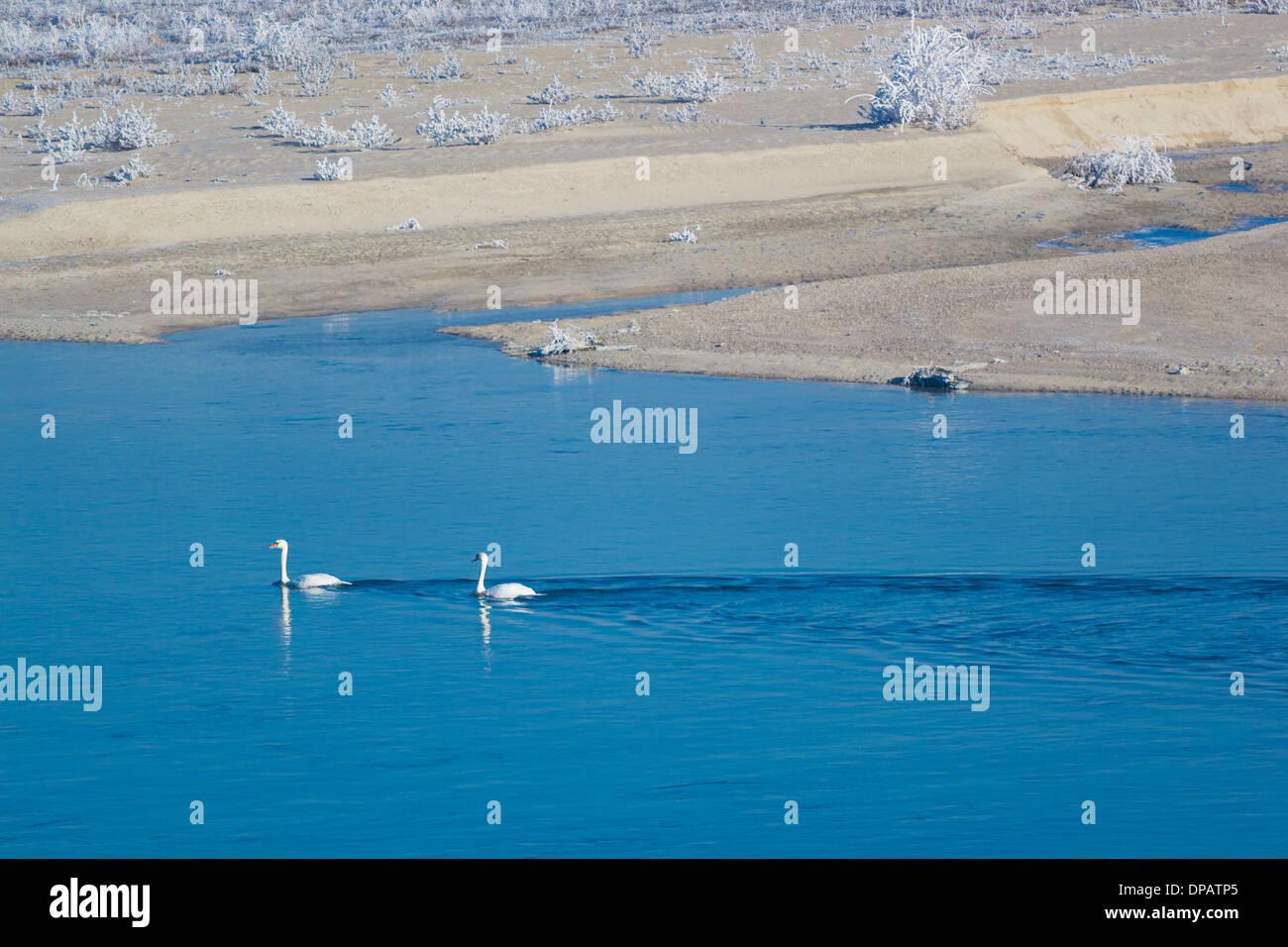 mute-swan-cygnus-olor-couple-pair-swimmi