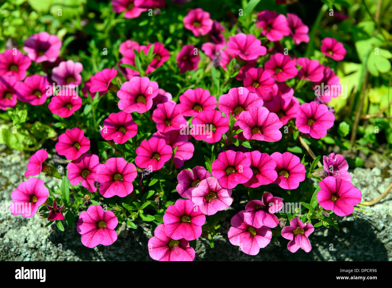 bacopa pink flowers flowering bed border bedding flower. Black Bedroom Furniture Sets. Home Design Ideas