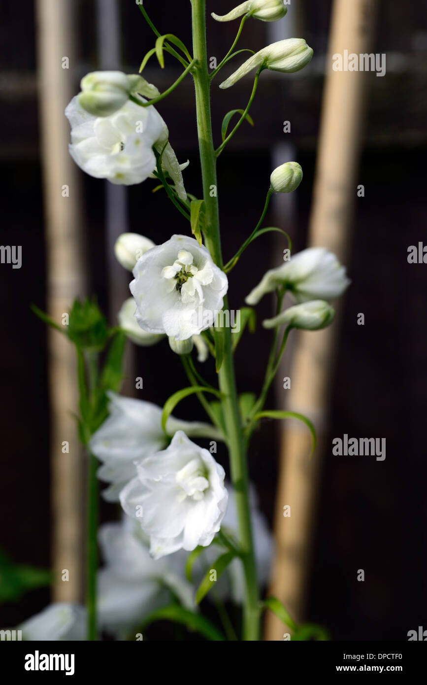 Delphinium galahad white tall flower spike spire flowers for Plant with tall spikes of yellow flowers