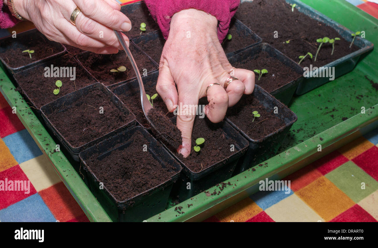 womans-hands-planting-out-geranium-or-pe