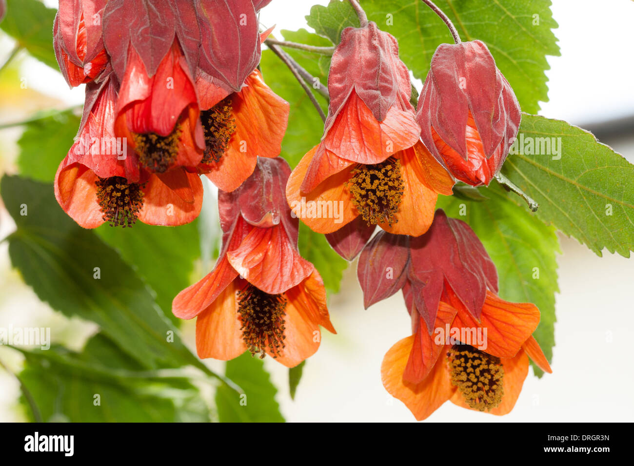 abutilon-patrick-synge-in-a-private-gard