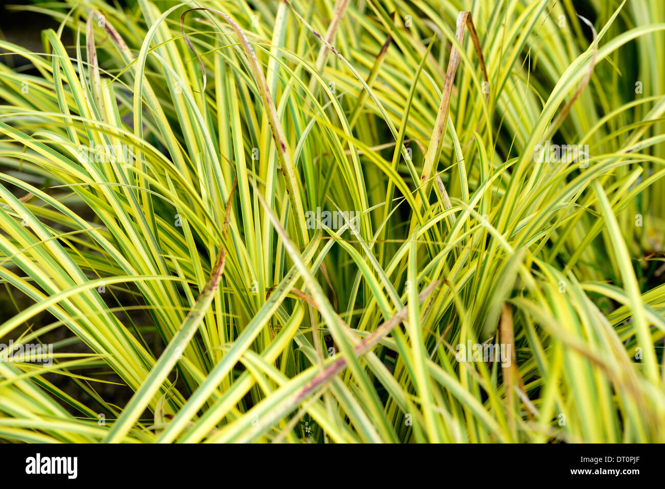 acorus gramineus ogon grass grasses yellow lime green