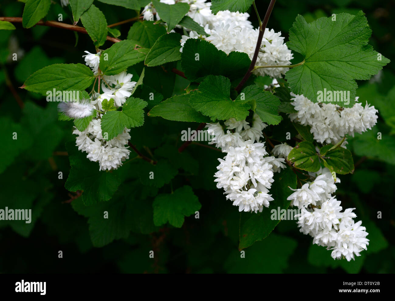 Deutzia x magnifica white flowers flower flowering spring for White flowering bush