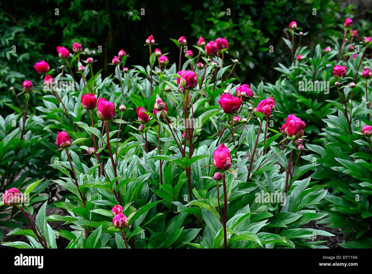 Paeonia officinalis rubra plena peony peonies pink red for Paeonia officinalis