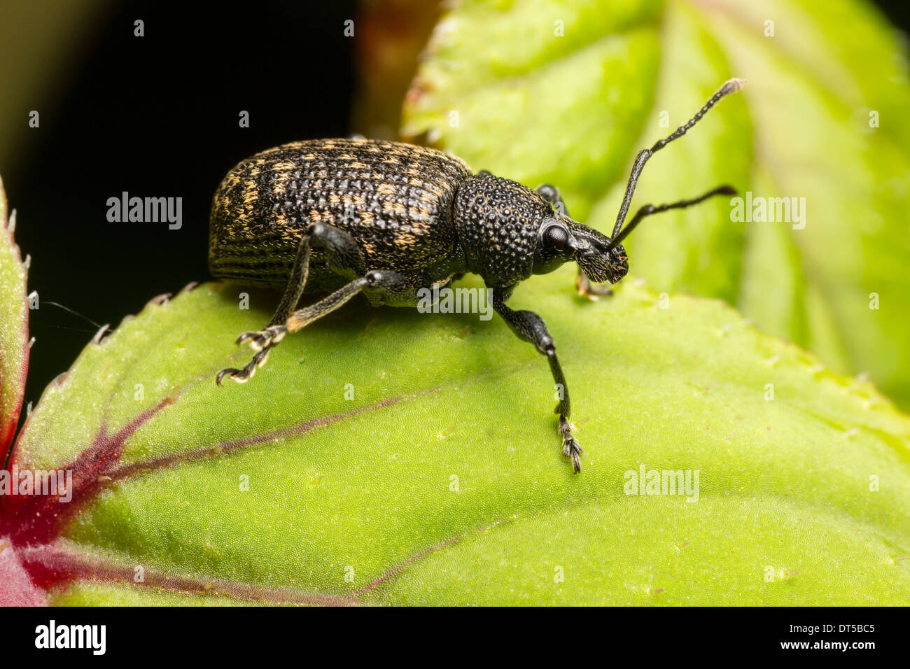 Black Vine Weevil, Otiorhynchus sulcatus, on a leaf of Fuchsia 'Genii' in a Plymouth garden Stock Photo