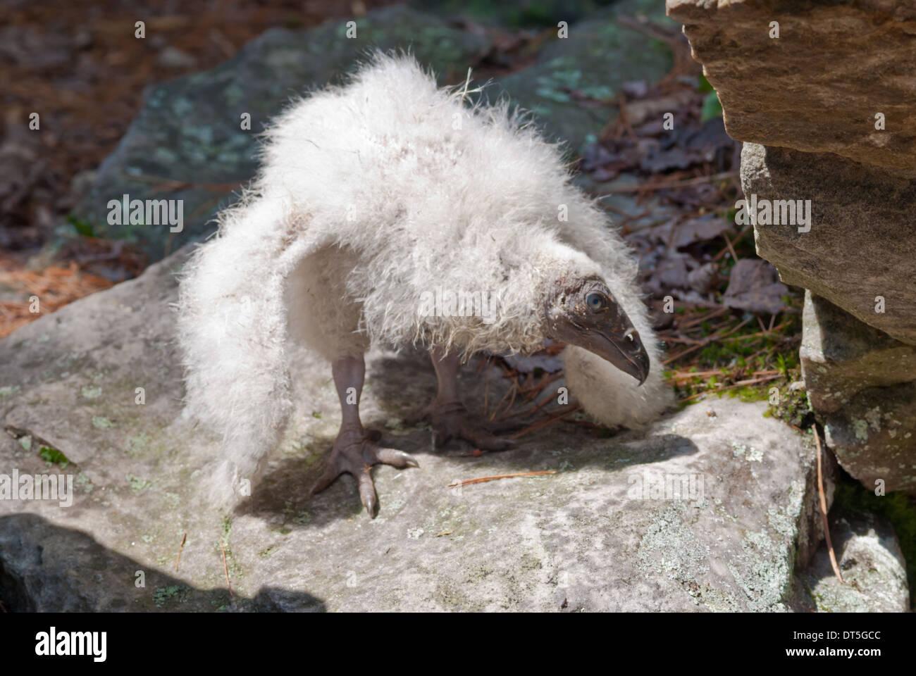 turkey-vulture-chick-cathartes-aura-stan