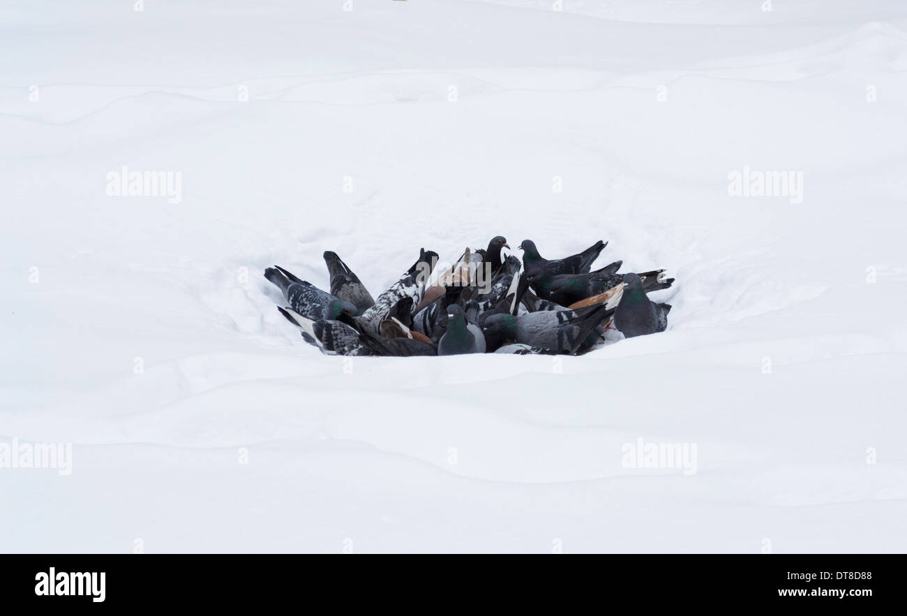 feral-pigeons-columba-livia-DT8D88.jpg