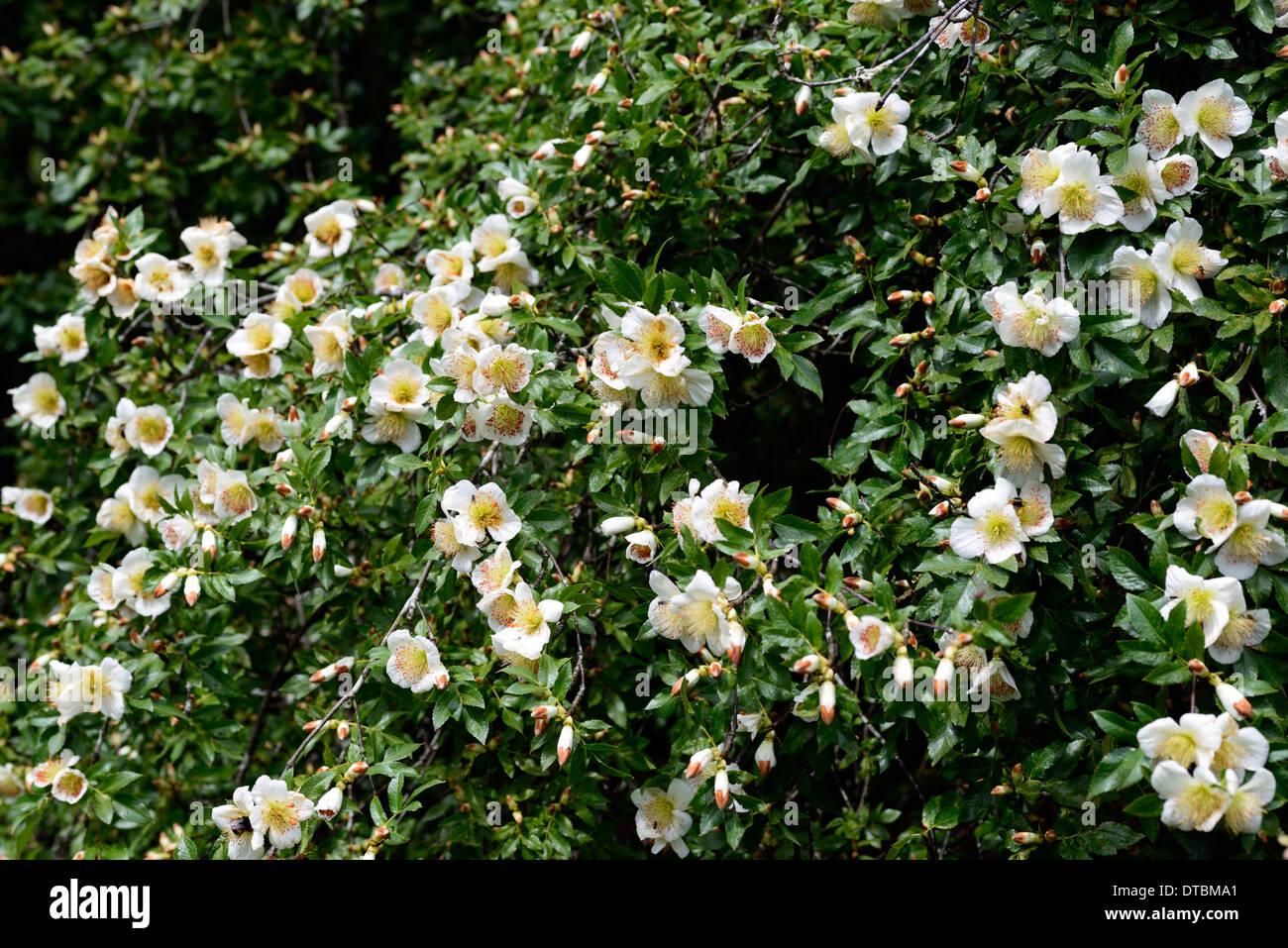 eucryphia glutinosa white flower flowering bloom blooms tree trees Stock Phot