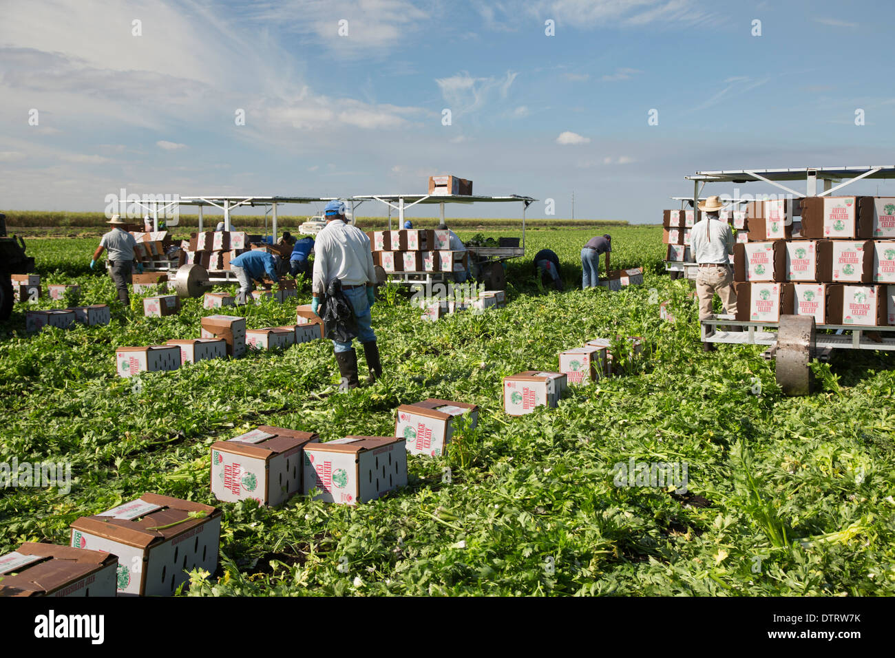 Belle Glade, Florida - Workers harvest celery at Roth Farms. Stock Photo
