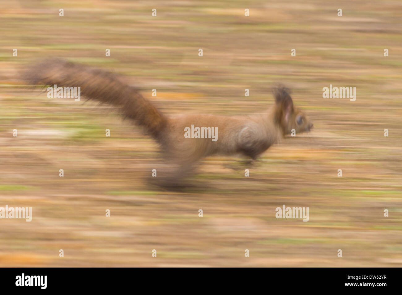 red-squirrel-sciurus-vulgaris-romania-DW