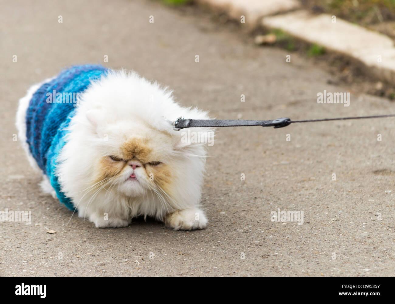 himalayan-cat-persian-cat-refusing-to-mo