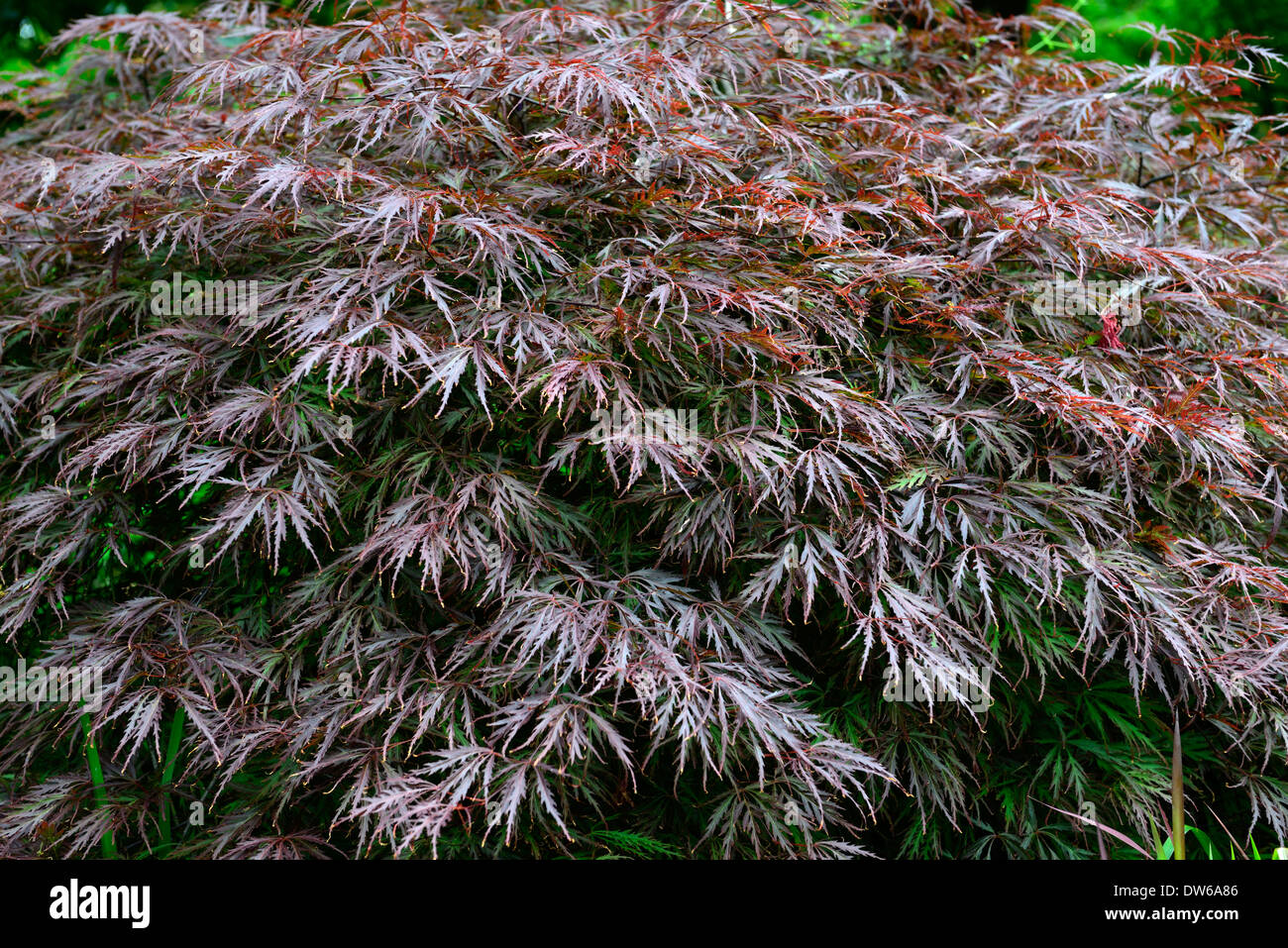 acer palmatum dissectum garnet purple foliage shrubs oriental maples stock photo royalty free. Black Bedroom Furniture Sets. Home Design Ideas