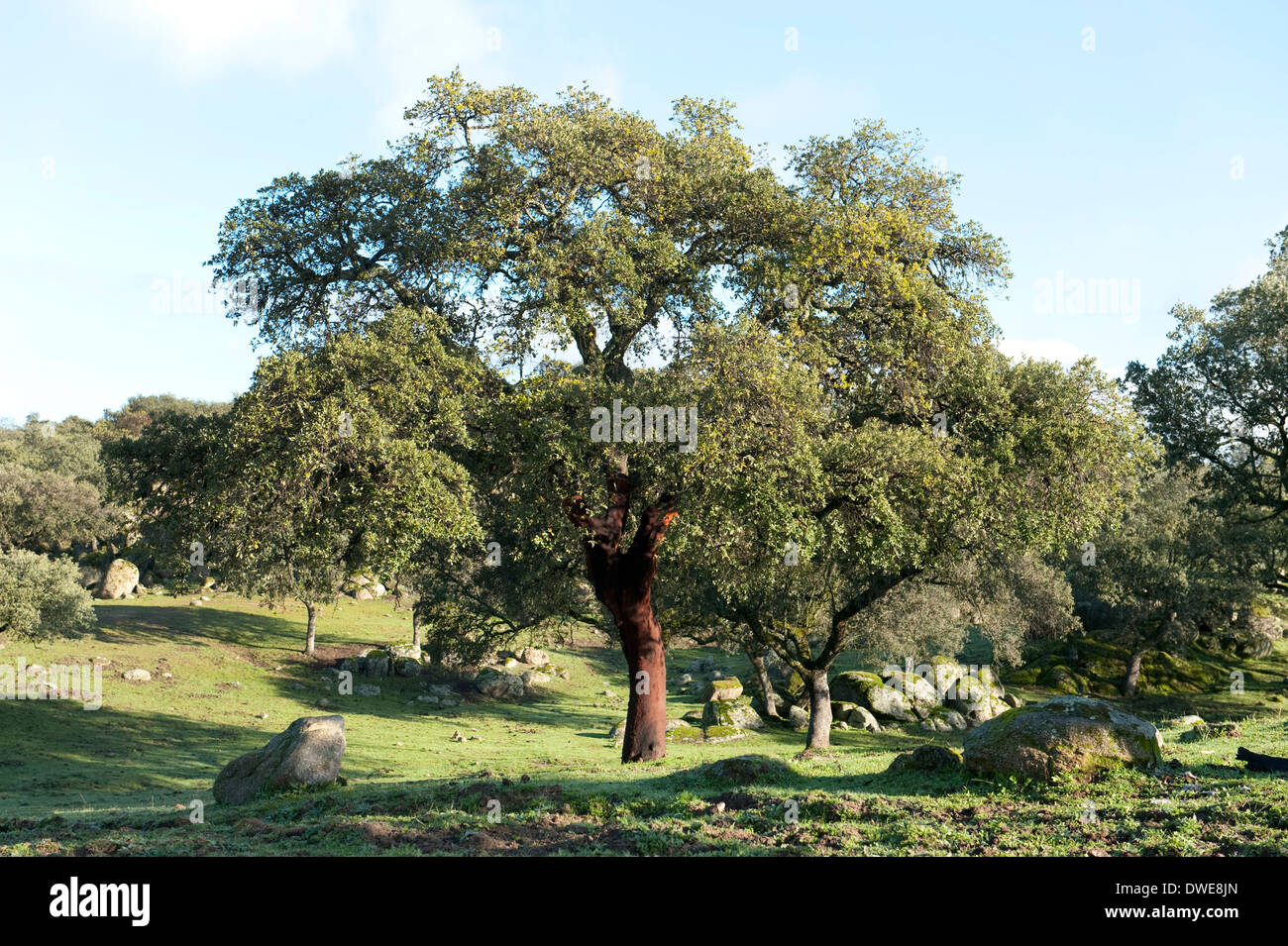 Cork Oak Tree Quercus Suber Andalucia Spain Stock Royalty Free Image Alamy