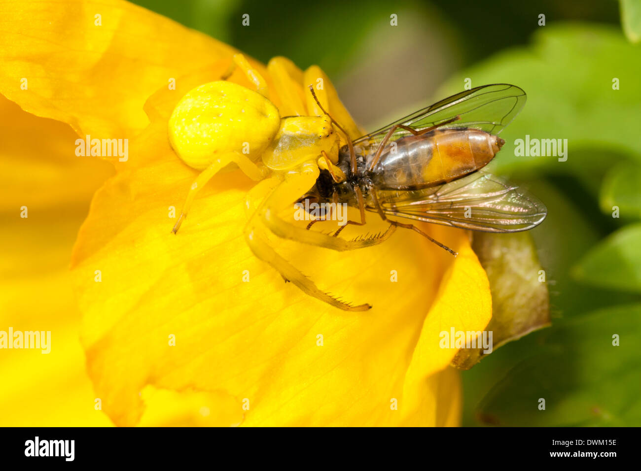 a-crab-spider-misumena-vatia-well-camouflaged-on-the-petals-of-meconopsis-DWM15E.jpg