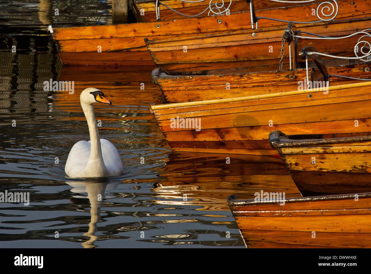 mute-swan-in-bowness-bay-lake-windermere