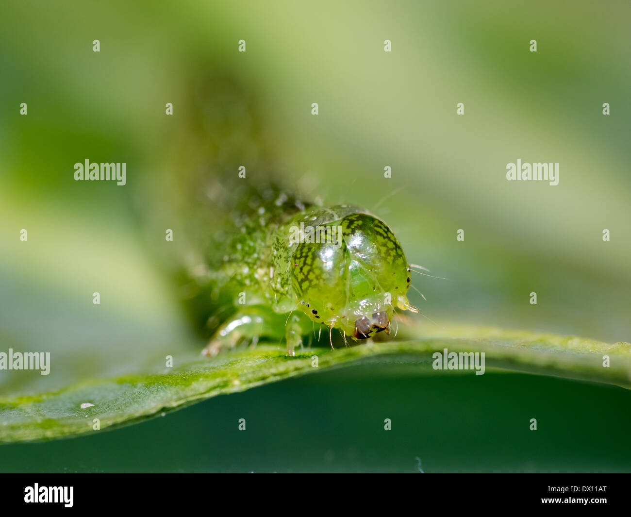 closeup-of-a-caterpillars-head-and-face-eating-a-cabbage-leaf-DX11AT.jpg