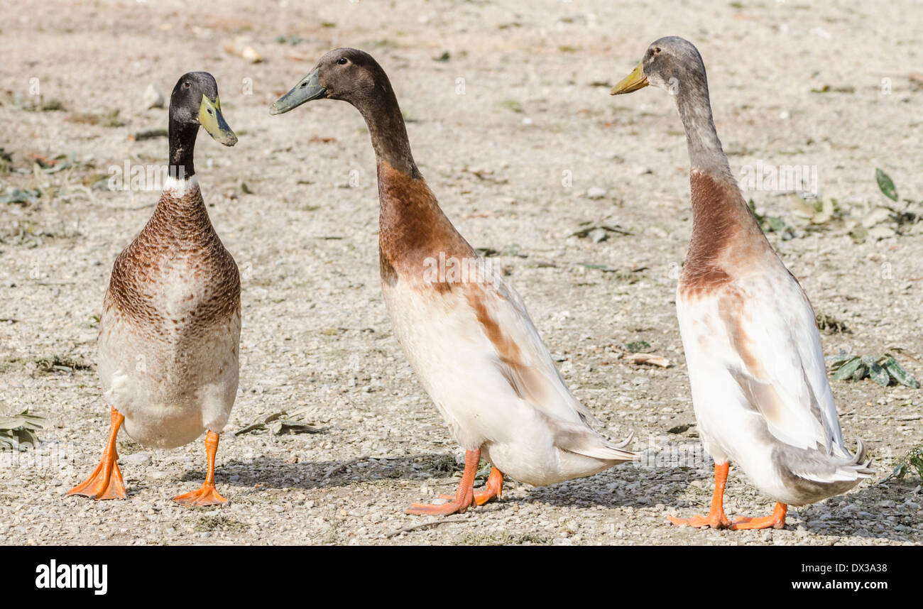 3-domestic-indian-runner-ducks-DX3A38.jp