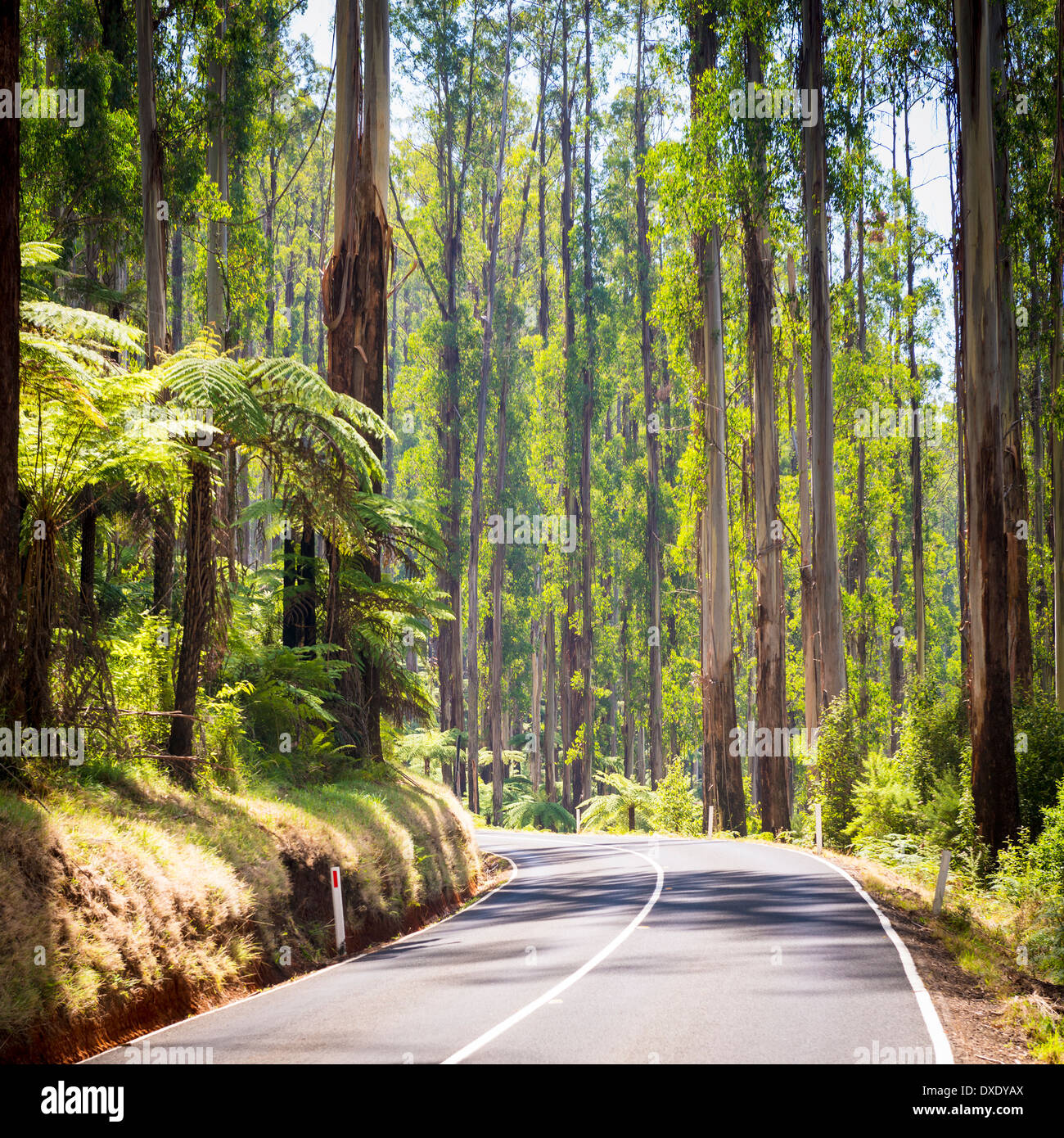 Towering trees and tree ferns in the forest along the Black Spur in the Yarra Valley, Victoria, Australia Stock Photo