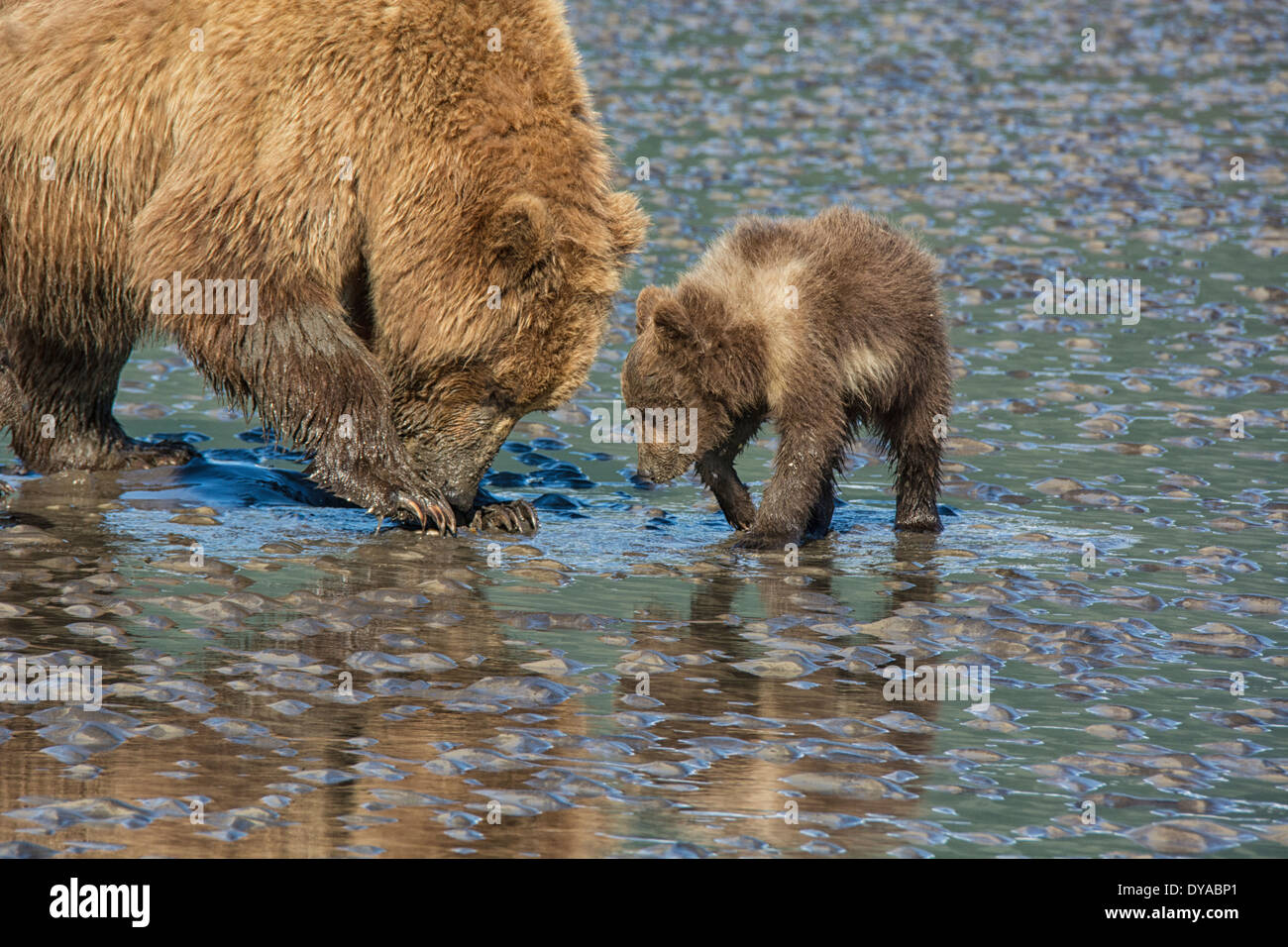 two-grizzly-bears-mother-and-spring-cub-
