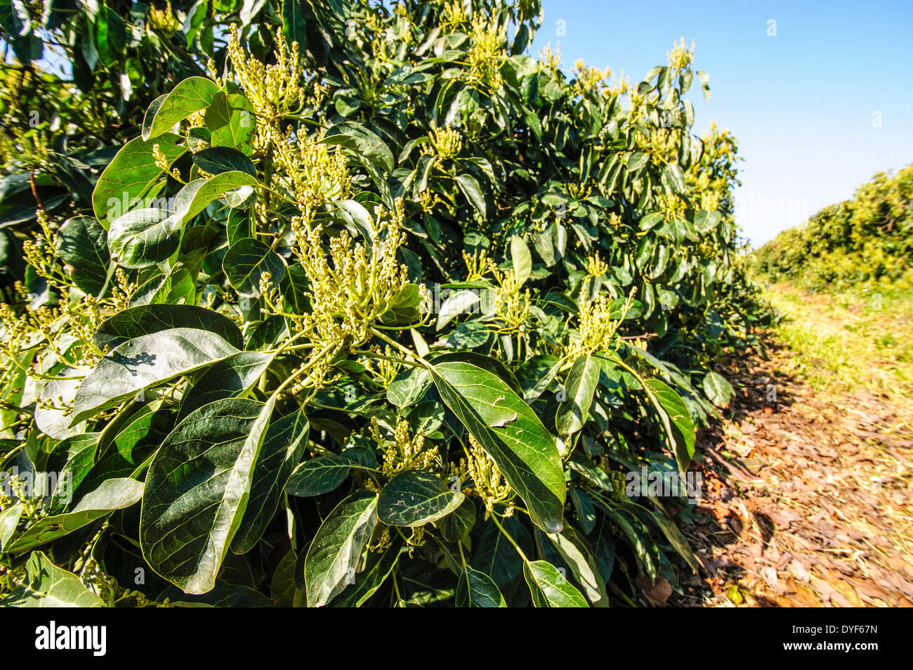 avocado plantation photographed in israel in march stock photo royalty free image 68561017. Black Bedroom Furniture Sets. Home Design Ideas