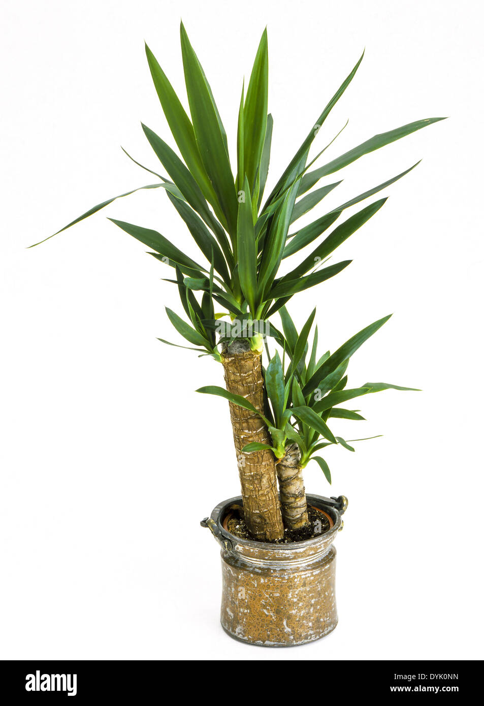 zimmerpflanzen yucca palme in einem topf indoor plants. Black Bedroom Furniture Sets. Home Design Ideas