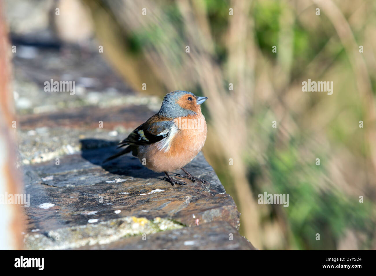 juvenile-common-chaffinch-fringilla-coel