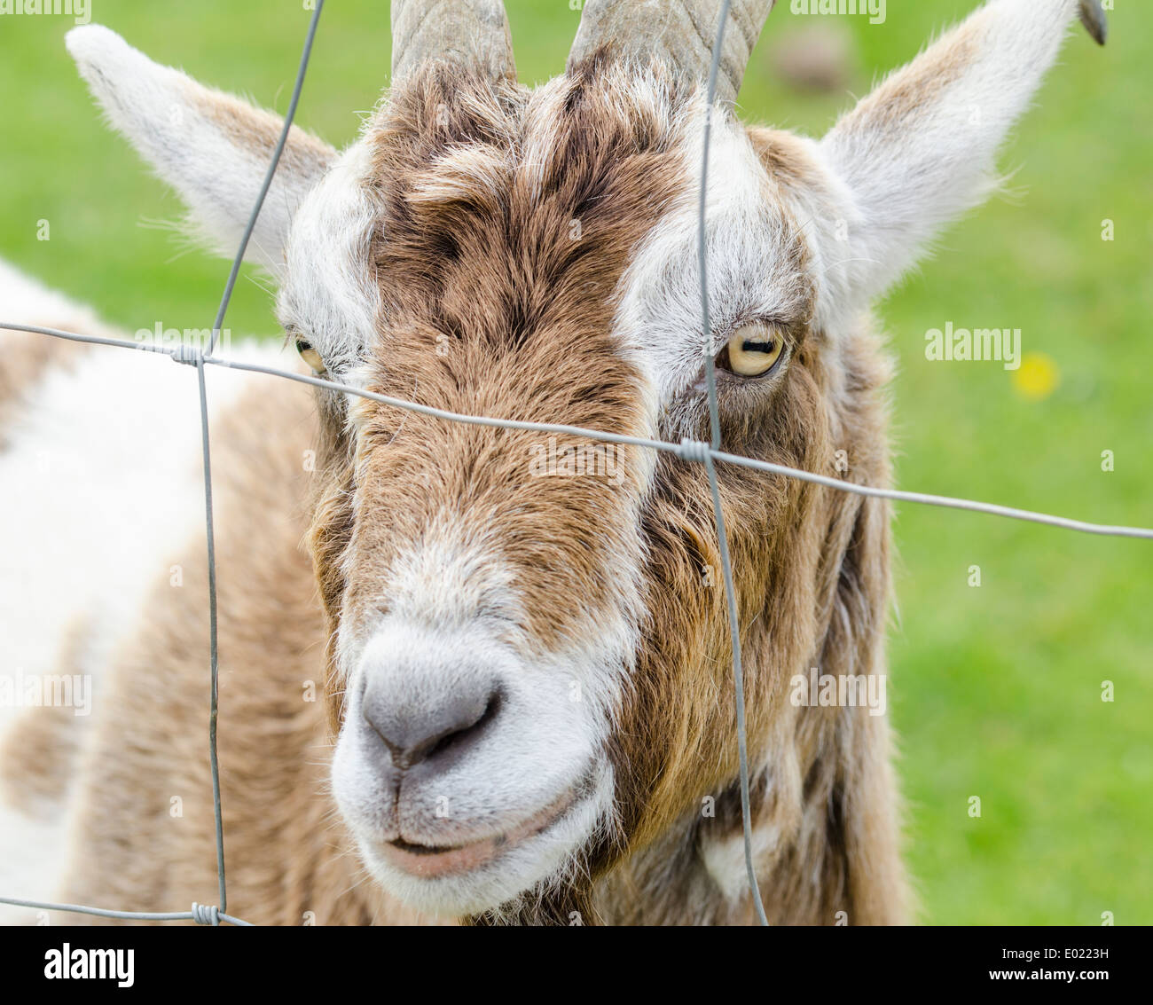 Trapped concept. Head of a brown and white goat in a field behind a wire fence. Stock Photo