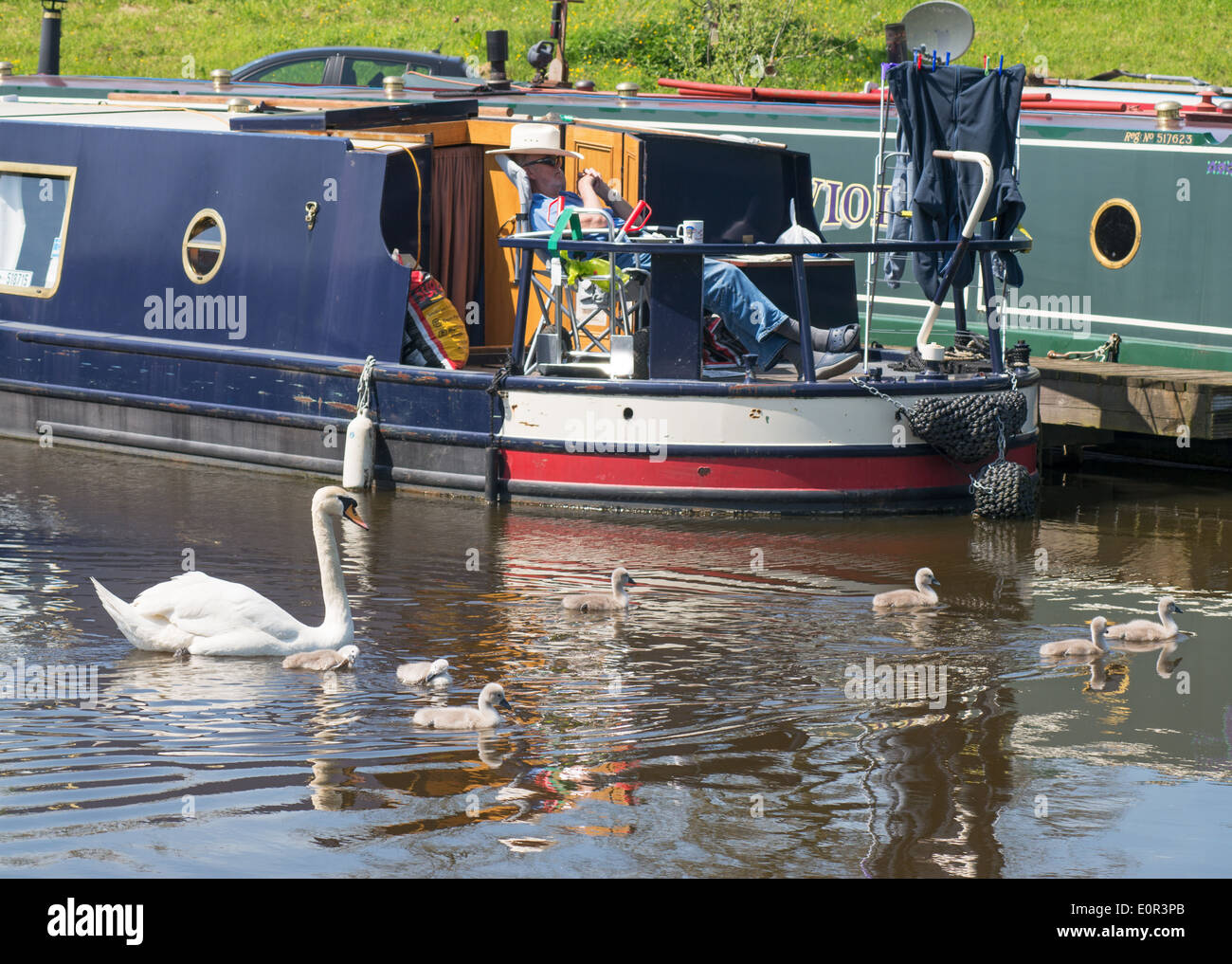 swan-and-cygnets-passing-man-sleeping-on