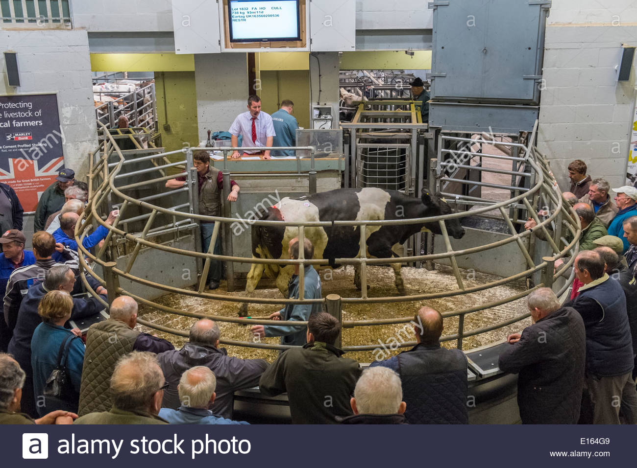 Selling Cattle At The Prime Ring At Bakewell Livestock