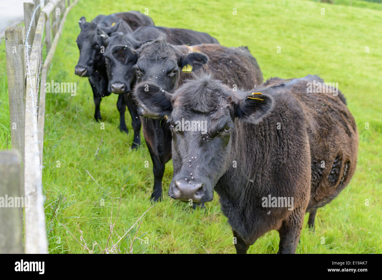 small-heard-of-cows-in-a-field-looking-a