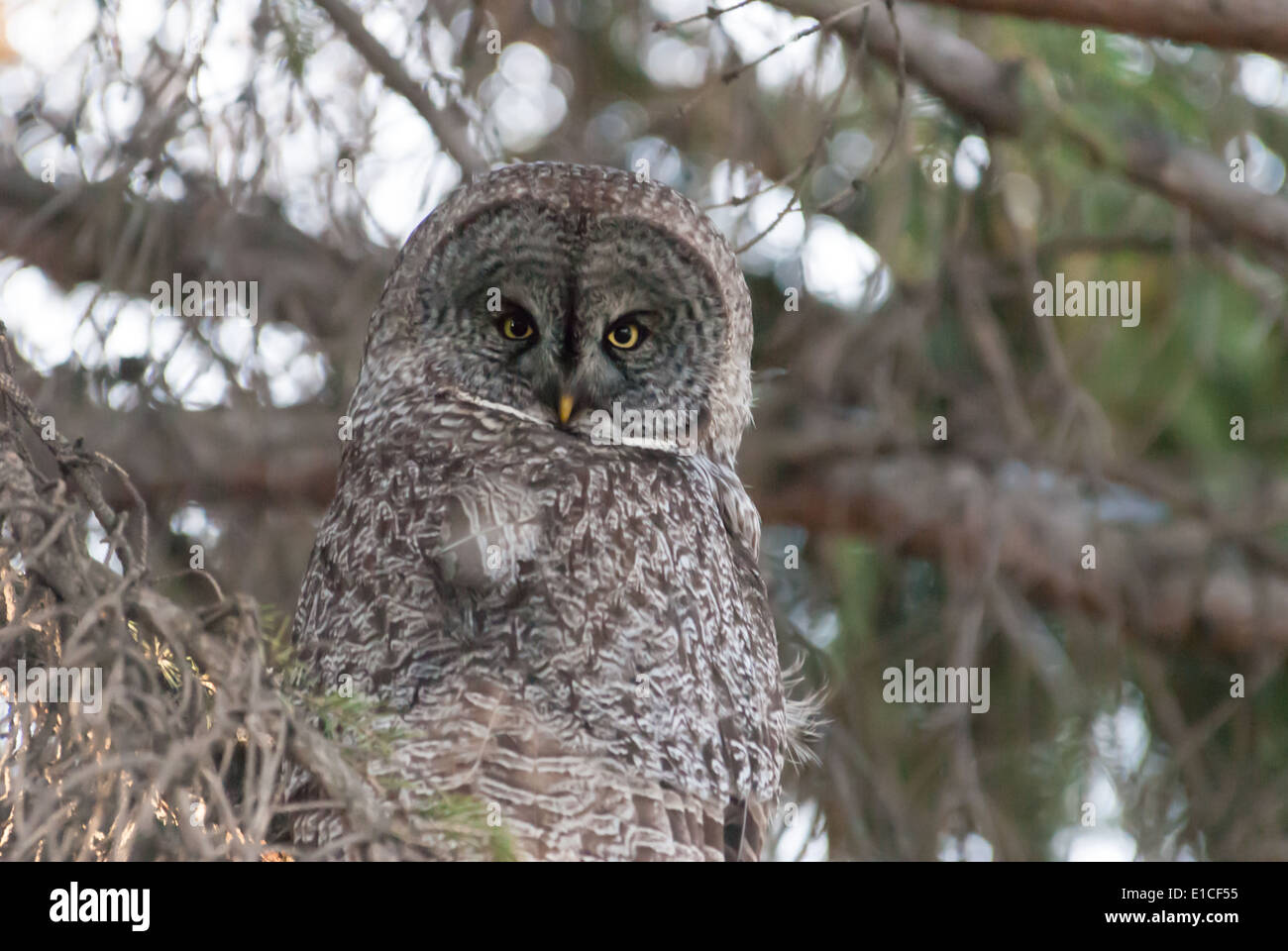 great-grey-owl-strix-nebulosa-sitting-in