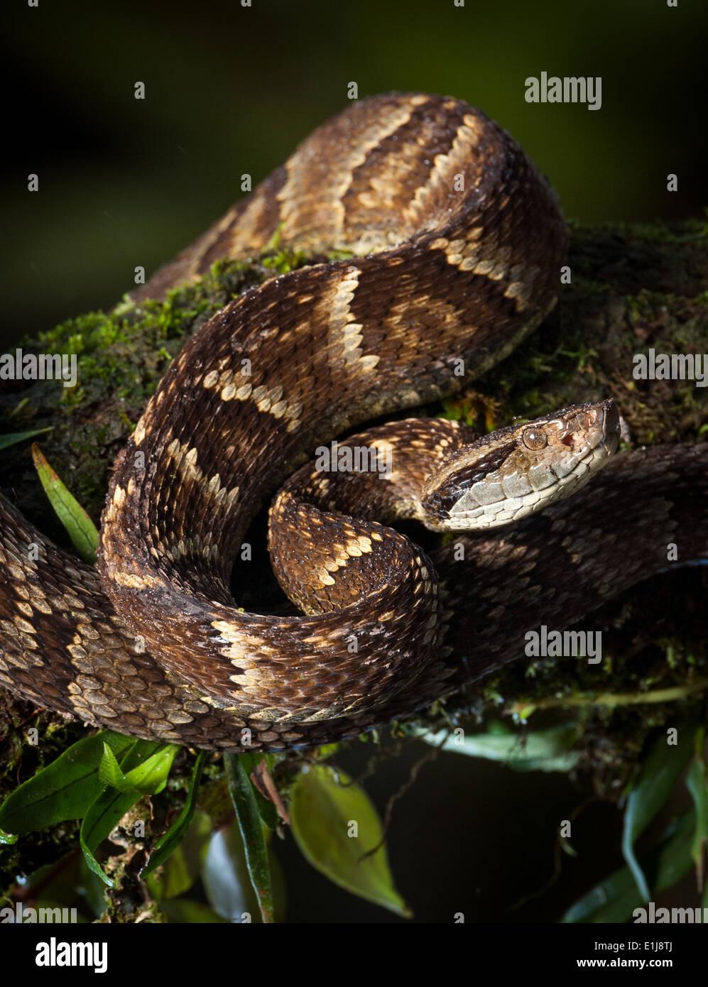a-pit-viper-bothrops-jararaca-from-the-a