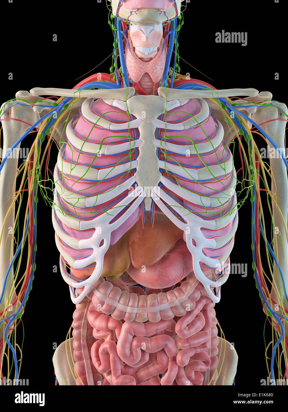 Female Rib Cage Anatomy