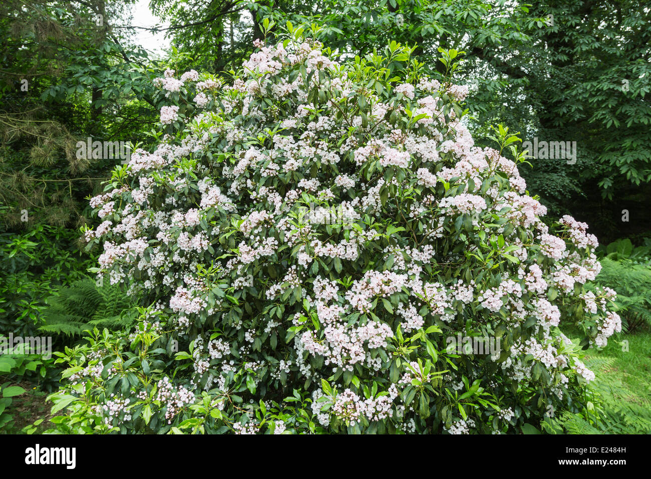 Flowers of Kalmia latifolia mountain laurel calico bush or Stock Ro