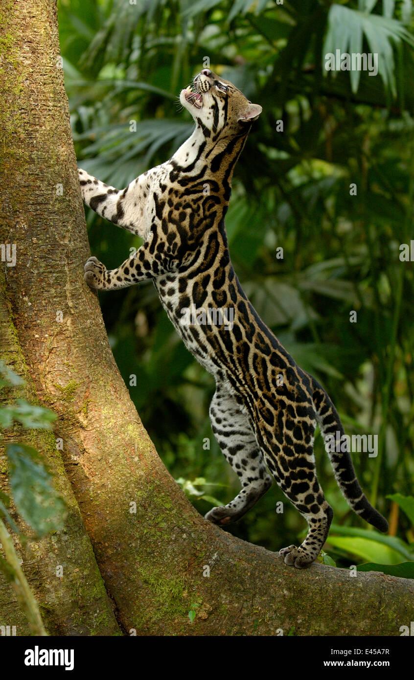 Amazon rainforest ocelot - photo#25