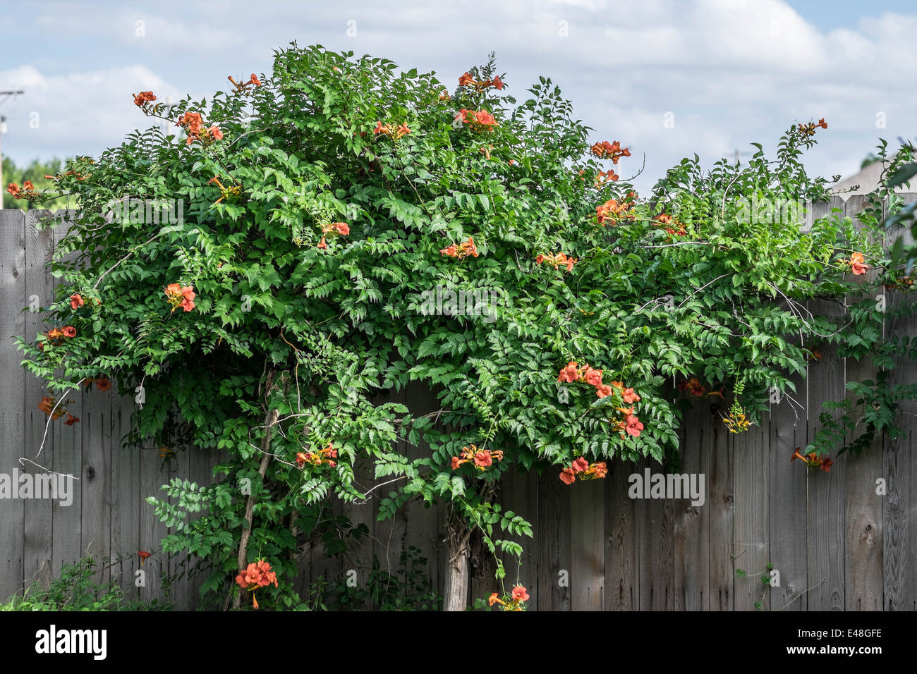 a trumpet vine campsis radicans against a wooden fence usa stock photo royalty free image. Black Bedroom Furniture Sets. Home Design Ideas