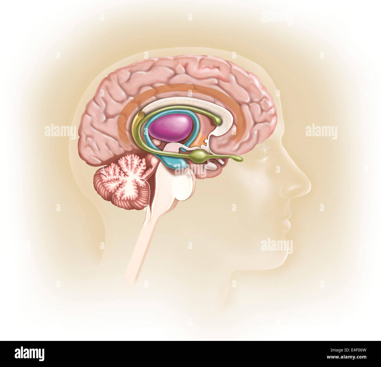 Sagittal View Of Human Brain Showing The Limbic System ...
