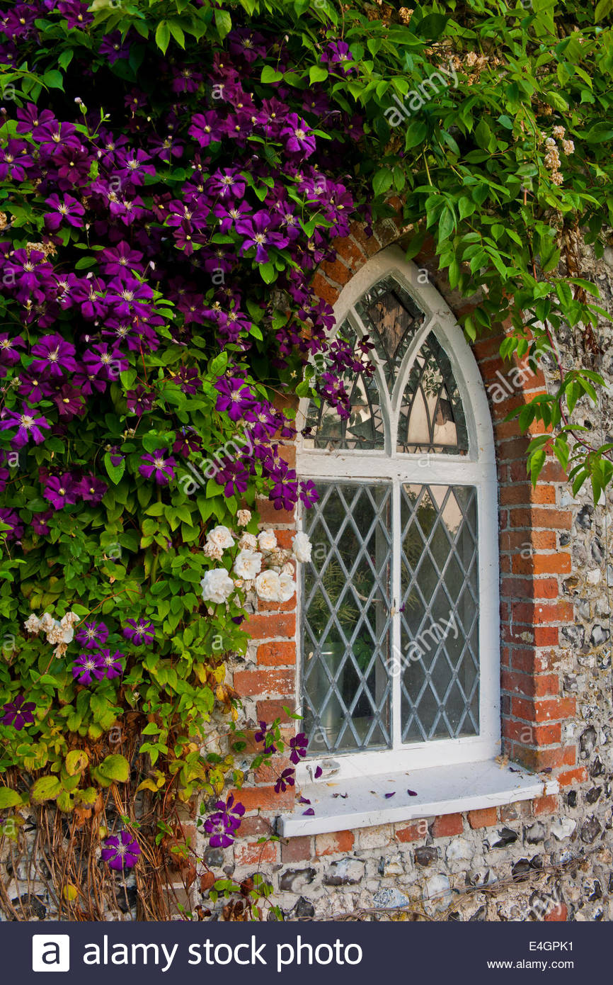 clematis etoile violette climbing wall purple window rose west dean stock photo royalty free. Black Bedroom Furniture Sets. Home Design Ideas