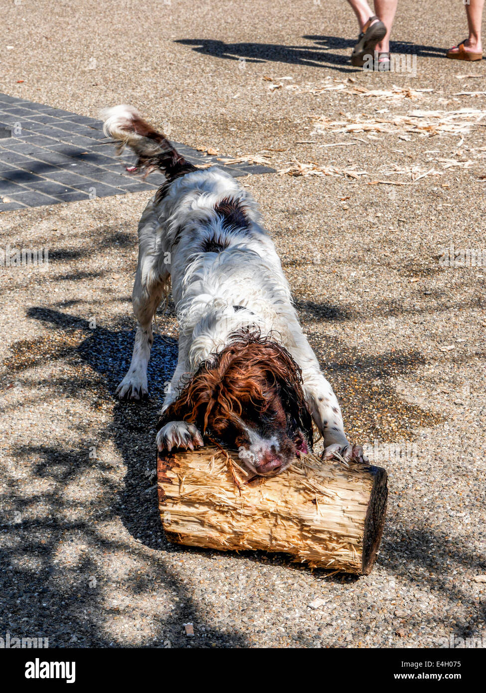 wet-dog-chewing-and-gnawing-battered-log