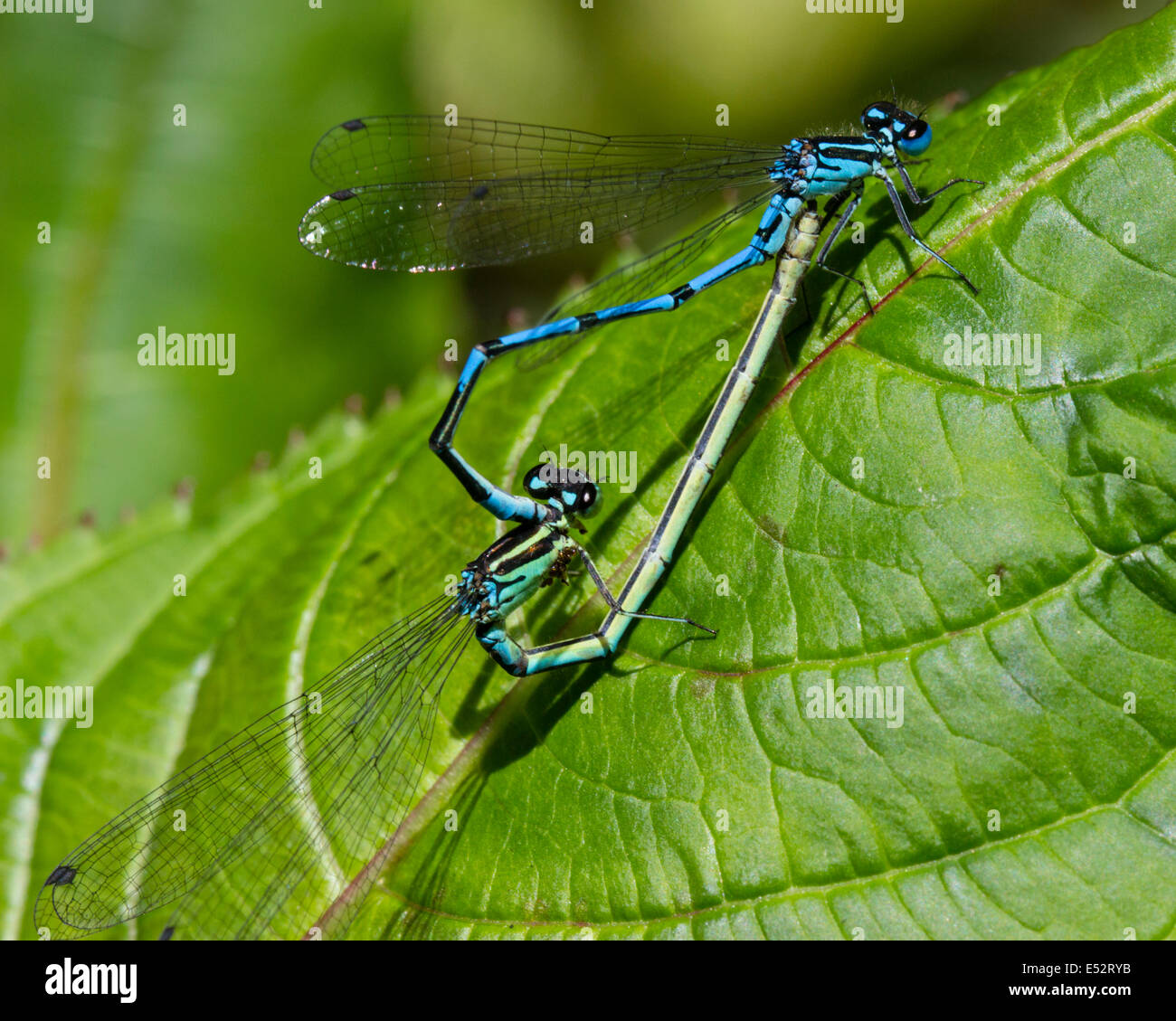 mating-wheel-of-common-blue-damselflies-enallagma-cyathigerum-E52RYB.jpg