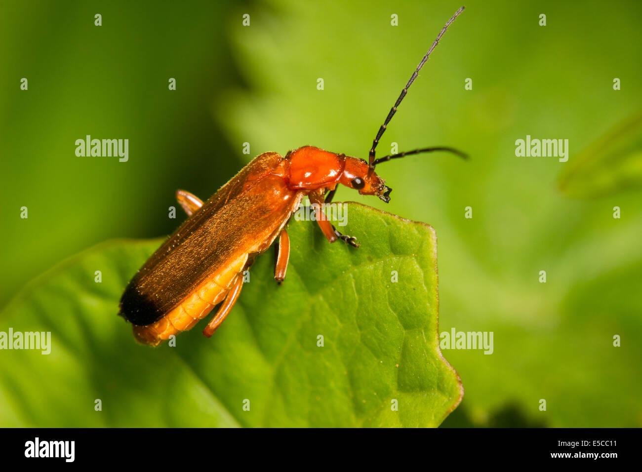 Orange soldier beetle, Rhagonycha fulva Stock Photo