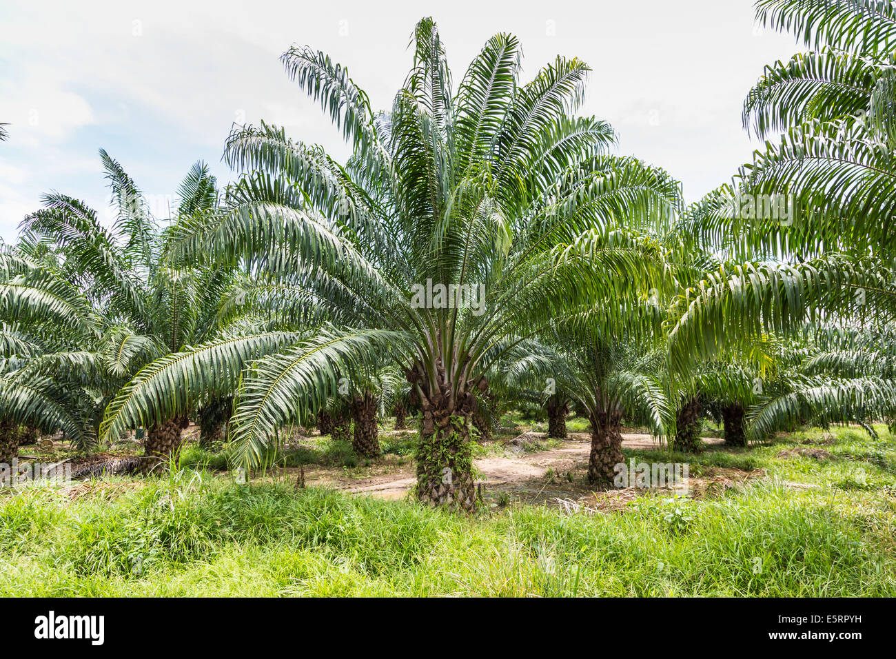 Oil palm trees (Elaeis guineensis) in a plantation ...