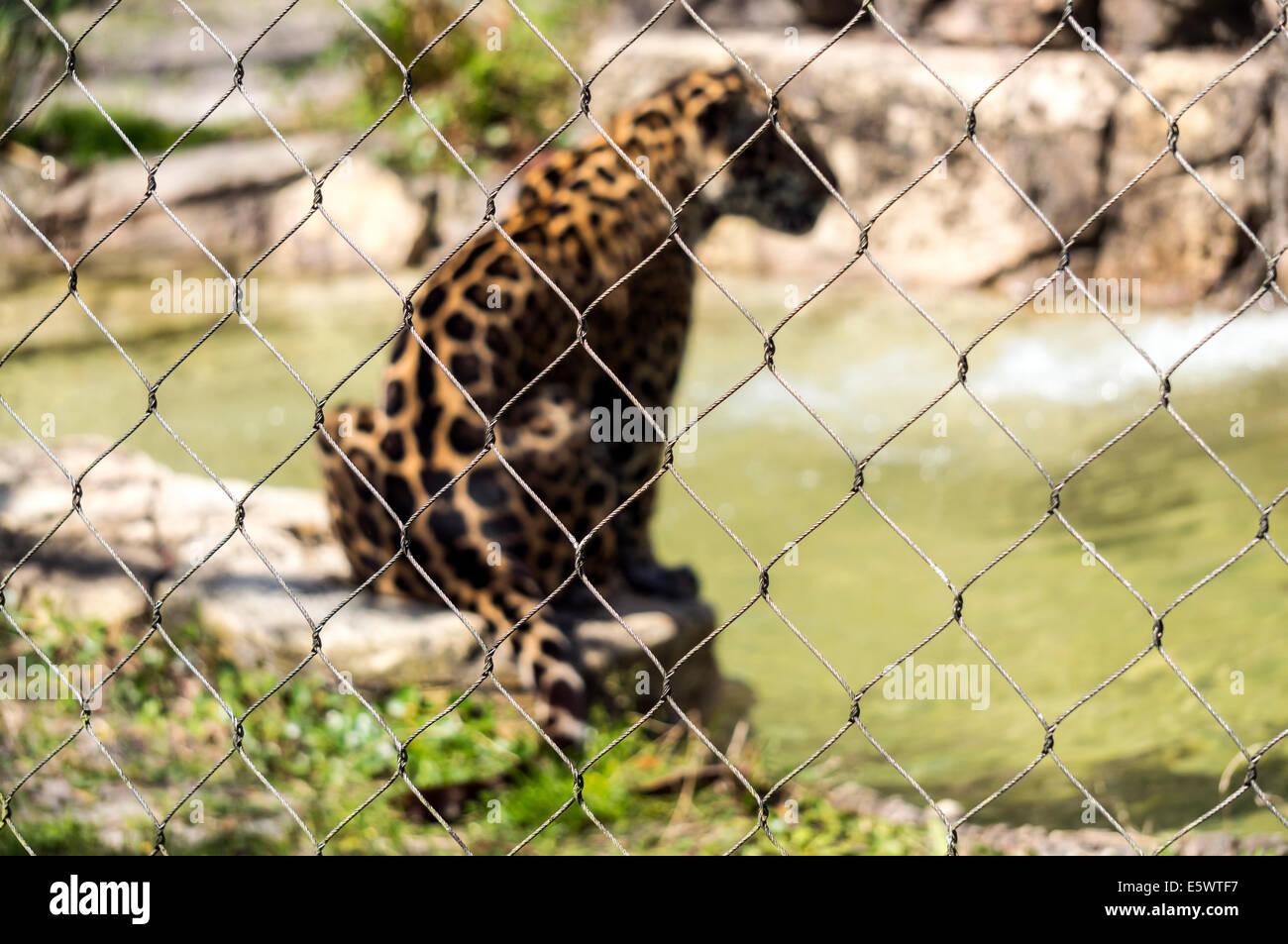 spotted-jaguar-sits-on-rock-beside-pond-