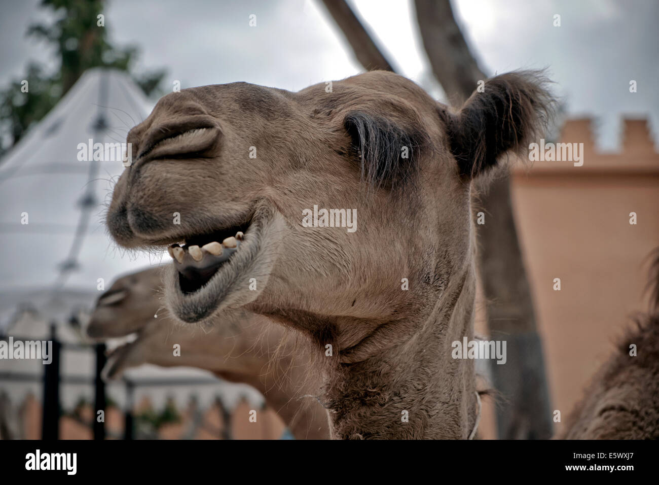 Camel funny animal face laughing Stock Photo, Royalty Free ... - photo#25