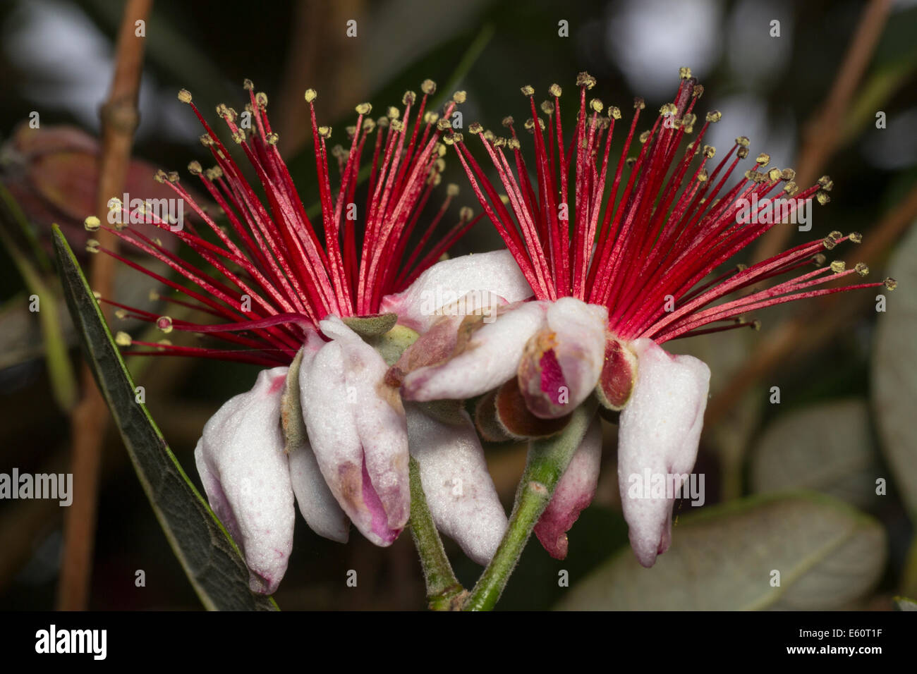 edible-flowers-of-the-pineapple-guava-acca-sellowiana-E60T1F.jpg