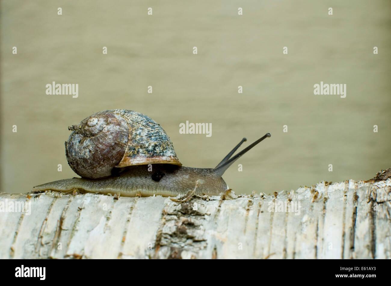 garden-snail-on-silver-birch-log-E61AY3.